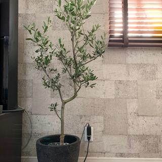 オリーブの木 形が良い 観葉植物 150センチ 10000円