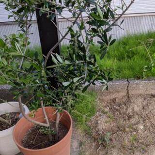 オリーブの木(種類不明)