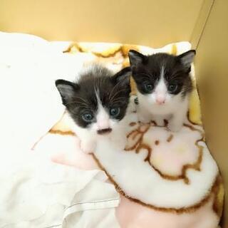 【譲渡先決定しました】2匹の仔猫の里親募集
