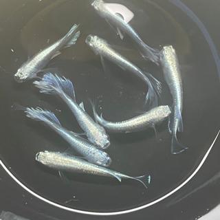 改良メダカ リアルロングフィン親魚
