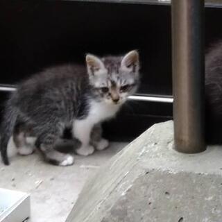 ★お問い合わせ停止します★子猫の里親を募集してます。(サバトラ×白)