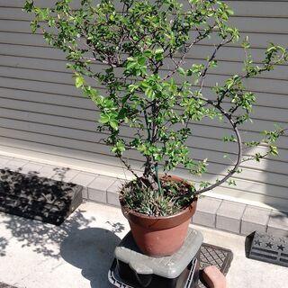 鉢植え 品種不明