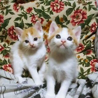 兄妹猫2匹の里親募集