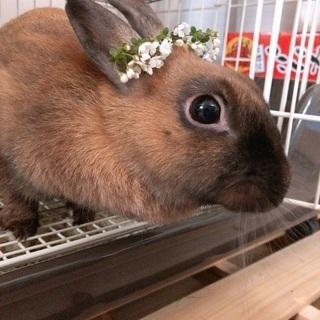 茶色のミニウサギ 女の子です
