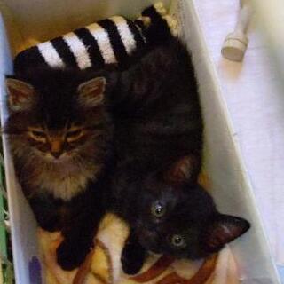 【募集一時中止】4月生まれ子猫1匹里親募集【トライアル中】