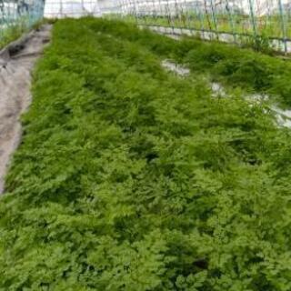 ハーブ、野菜の収穫パック詰め袋詰め。