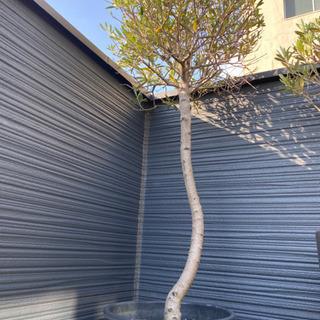 【ネット決済】オリーブの木