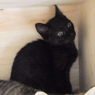 【募集停止】月齢3か月の人懐っこいスマートな黒の子猫 【動画あります】