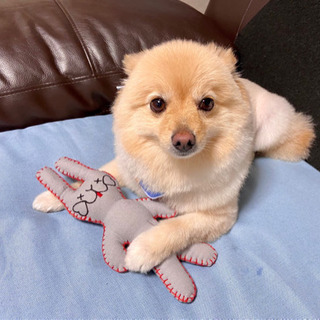 愛犬のポメラニアンを可愛がって下さい。
