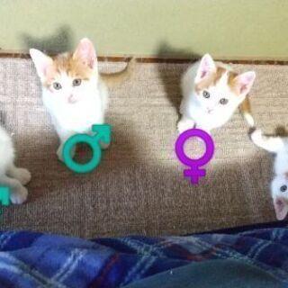 生後約2ヵ月の子猫の里親募集