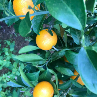 一人親の方限定 柑橘 ビワ 差し上げます