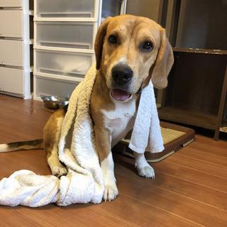ビーグル犬3歳7ヶ月 一度募集を停止致しておりましたが再開致します。