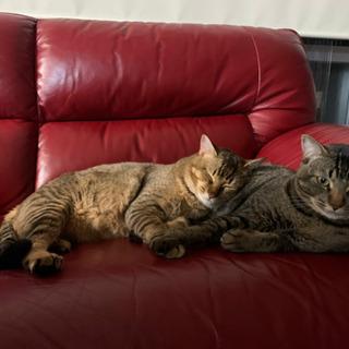 毛並みの綺麗な兄弟ネコの里親になりませんか?😊