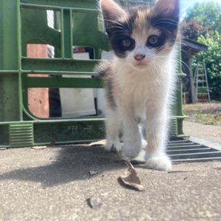 【交渉中のため一旦受付終了】生後約2ヶ月の子猫の里親さん募集