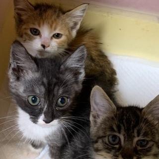 子猫 3匹 メス2、オス1 1か月半
