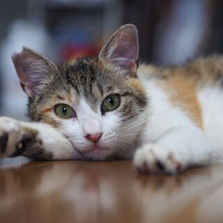 人が大好き可愛い三毛猫プリンちゃん