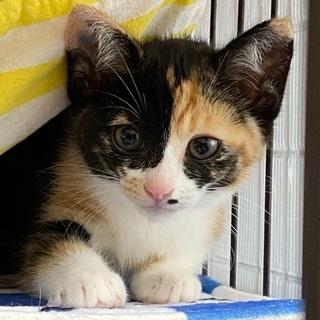 6/6 子猫だけのミニミニ譲渡面談会🍀丸顔な三毛猫ちゃん