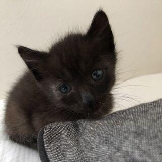 保護猫を迎えよう‼️黒猫♂️生後1ヶ月!