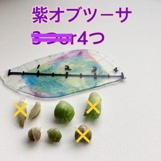 4個 紫オブツーサ ハオルシア カキ仔 カキ仔苗 オブツーサ 多肉植物