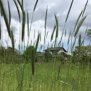 ライ麦収穫