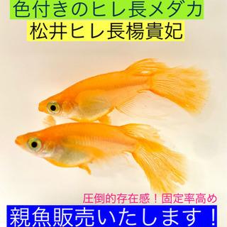 育ててみませんか①⁉️松井ヒレ長楊貴妃メダカ①❤️ヒレ長が美しく...