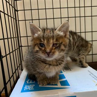 生後1か月 キジトラ 子猫