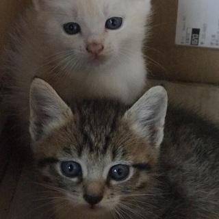 生後50日、ママはノルウェージャン♡可愛いオスメス子猫ちゃんの里...