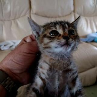 生後(推定)45日の子ネコです。