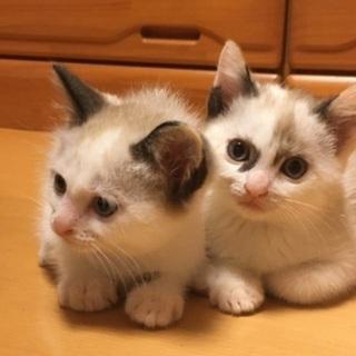 生後2ヶ月弱のシャム系、ぶち模様の子猫ちゃん