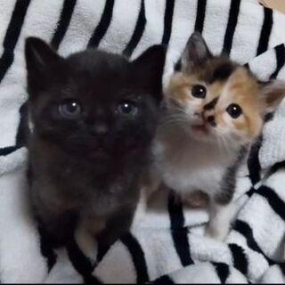 生後2ヶ月位 三毛&黒の可愛い姉妹【6/27(日曜日) 🌟譲渡会🌟】