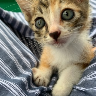⭐️急募⭐️生後2ヶ月仔猫募集の画像