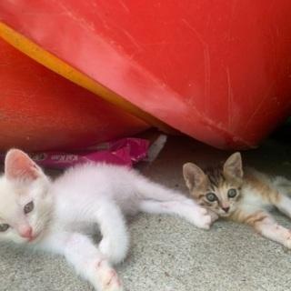 ⭐️急募⭐️生後2ヶ月仔猫募集 - 里親募集