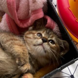 サビキジ子猫の里親募集‼︎
