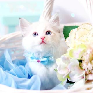 青い瞳の長毛マンチカンの女の子 18万円