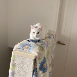 2歳白猫ポケちゃん