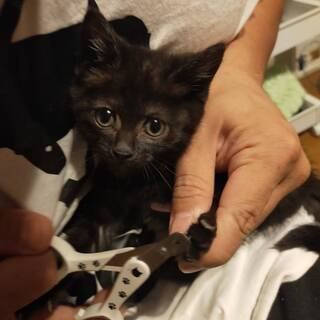 黒猫仔猫目がクリクリやんちゃ元気