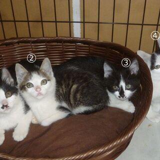 生後2ヶ月の子猫4匹きょうだい ④の子(オス)の募集です。3匹(...