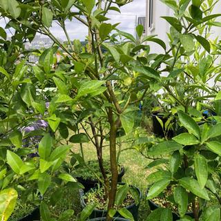 ミネオラオレンジ4年生鉢植え苗木