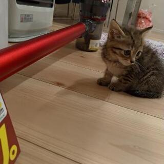 保護猫  キジトラ♀、トラ柄♀ 1ヶ月