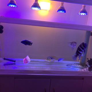 大型熱帯魚❗️フロントーサ バイオレットスネークヘッド他 …