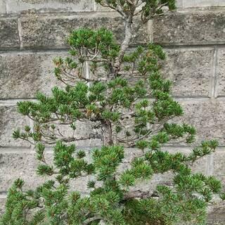 盆栽★その1★五葉松★全高:約75cm★樹齢:約50年
