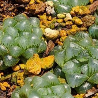 ハオルチア オブツーサ 多肉植物