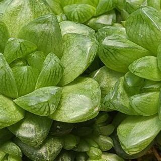 ハオルチア ウンブラティコラ 多肉植物