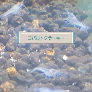 コバルトクラーキーザリガニの稚ザリ