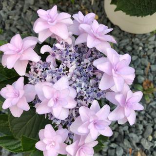 【ネット決済】うす紫 八重の紫陽花①