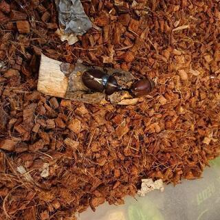 国産カブトムシ成虫 生まれたて 雄  雌 おす めす