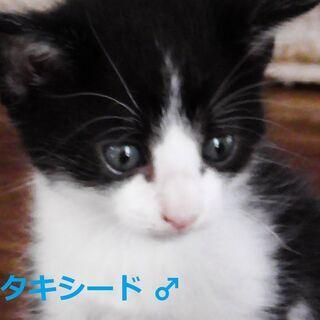 月齢1か月 半長毛の可愛い子猫たち5匹 【動画あり】