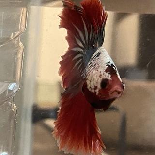 beta熱帯魚です。12月生まれです。