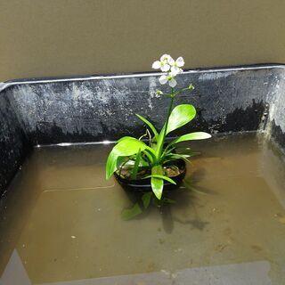 水生植物 ナガバオモダカN