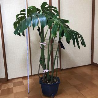 観葉植物 大きなモンステラ